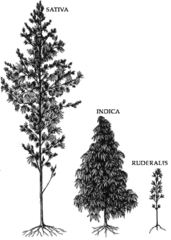 cannabis-varieties