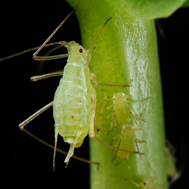 Aphids and Marijuana