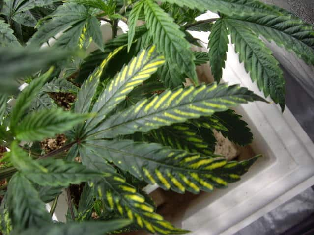 Cannabis nutrient disorders