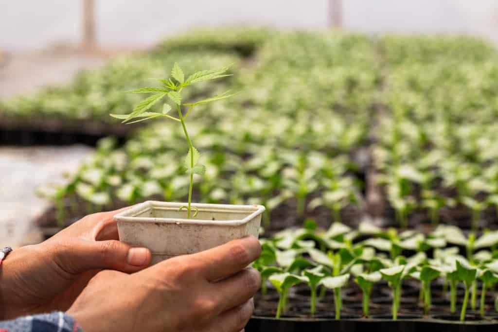 How to grow weed Cannabis Training University