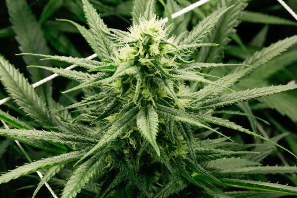 How to grow marijuana brief overview. Marijuana plants.