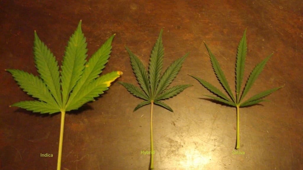 Sativa vs. Indica vs. Hybrids pot leaves