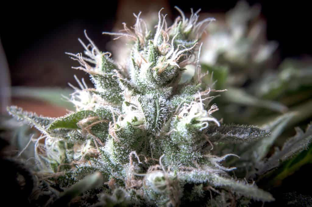 Top 6 Cannabis FAQ's. Cannabis plant