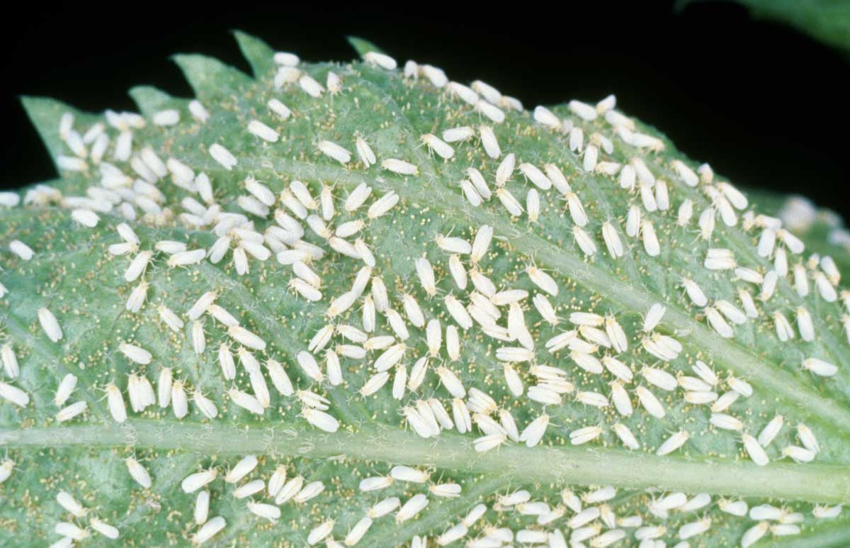 Whiteflies on cannabis