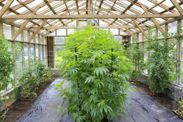 Australia Cannabis Careers