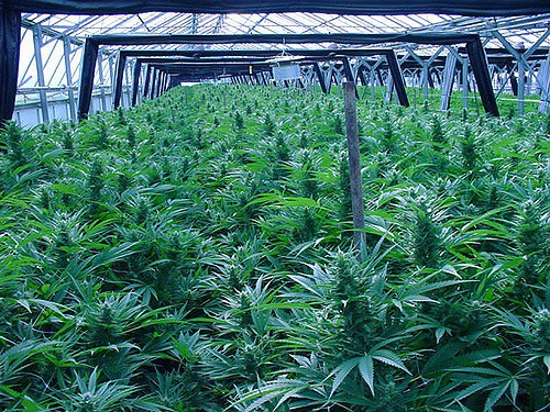 Different Marijuana Greenhouses to Consider