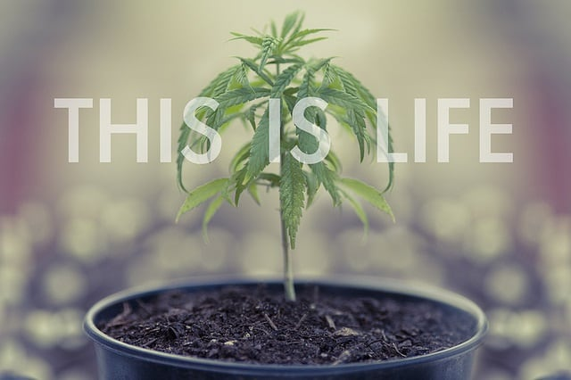 Medical Cannabis for Cancer. Weed plant in soil.