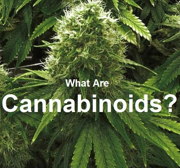 Cannabinoids present a challenge to the DEA