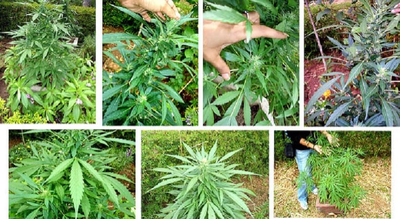 Marijuana Strains for Meditation. Different pictures of weed plants.