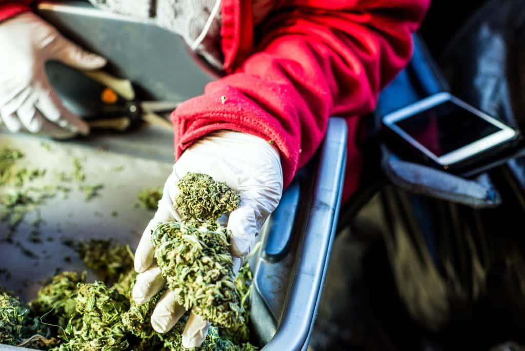 Cannabis Trim