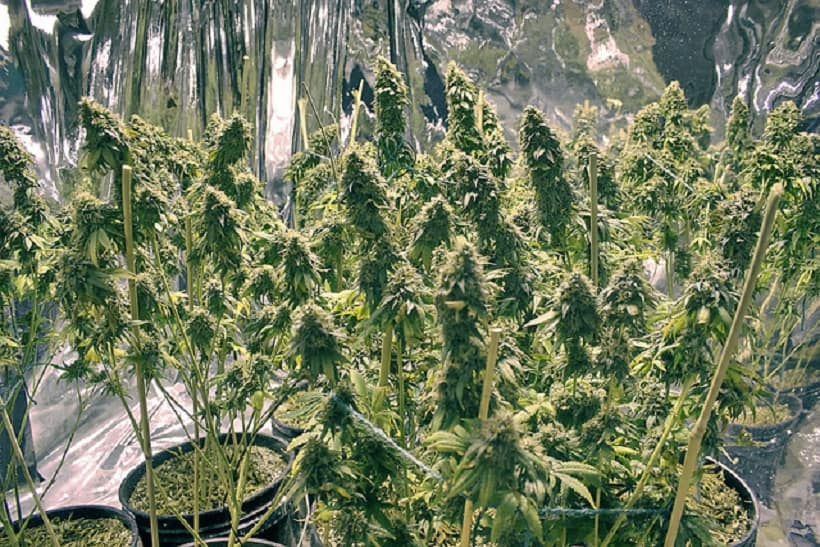 Veganic Approach to Organic Marijuana Growth