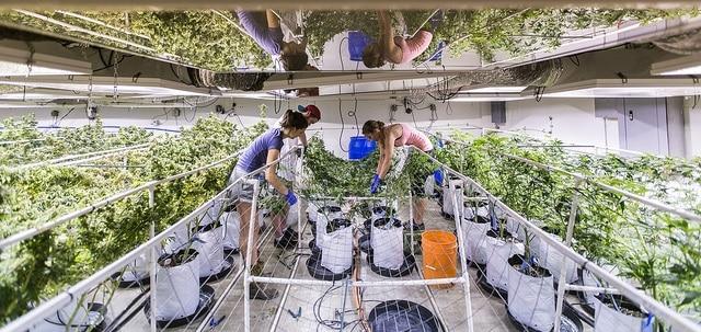 Marijuana Rights
