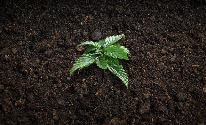 To Grow Marijuana Organically At Home