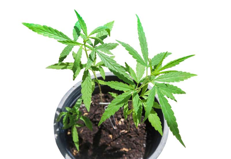 marijuana plants in soil in a pot, how to grow weed in a pot