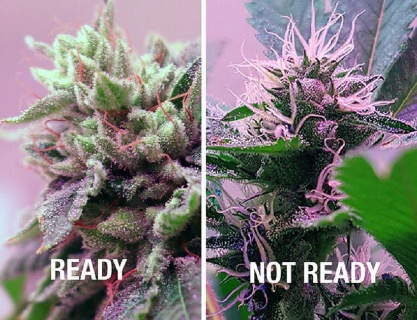 up close of two marijuana plants divided by a white line, harvesting time for marijuana plants
