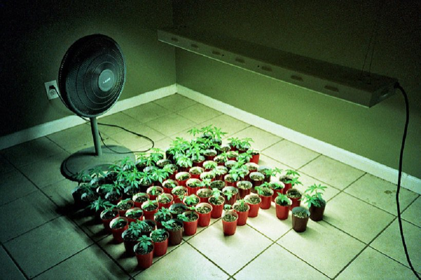 Cannabis Systems For Indoor Growing. Weed plants under grow lights.