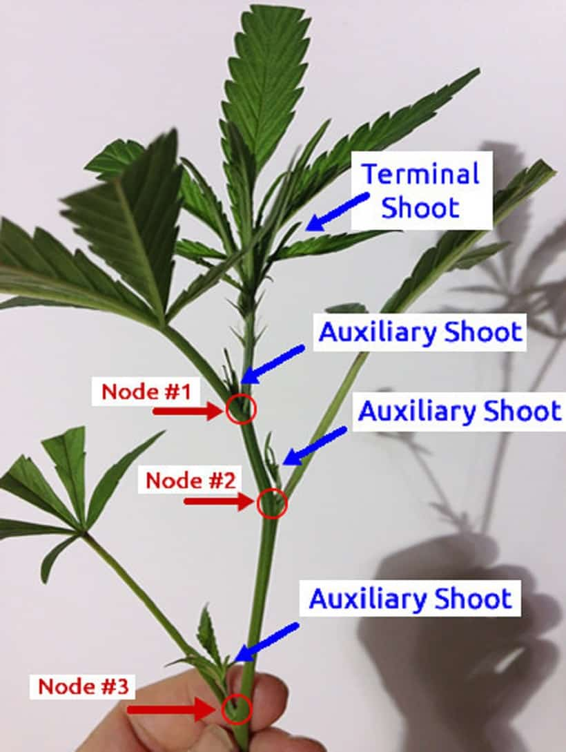 How Cloned Marijuana is Made At Home. Marijuana plant diagram.