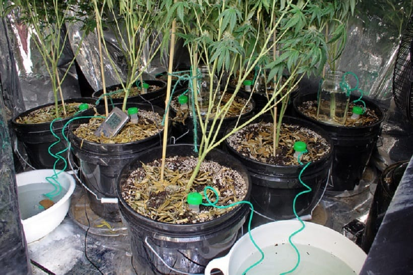 When and How to Flush Cannabis Plants. Marijuana plants in buckets.