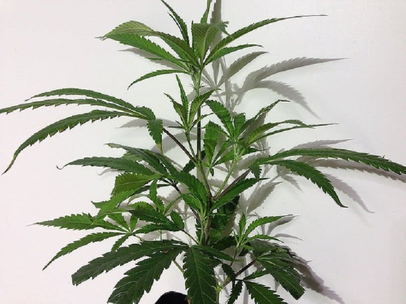 How to Choose Mother Plants For Weed Cloning. Cannabis plant.