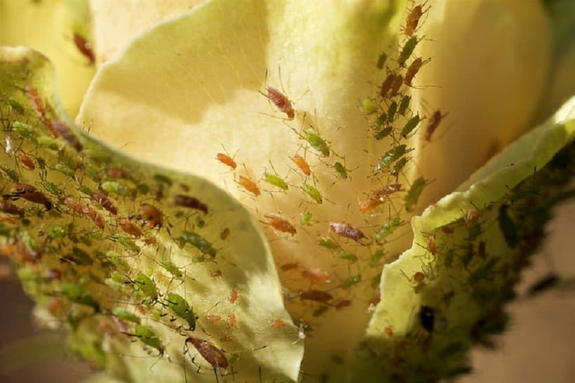 How To Prevent And Handle Aphids on Marijuana Plants