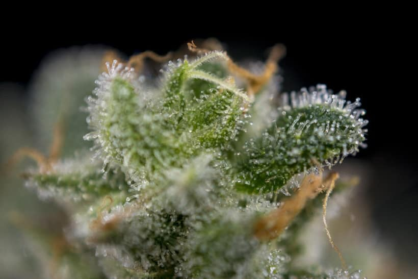 Features of the Cherry OG Marijuana Strain