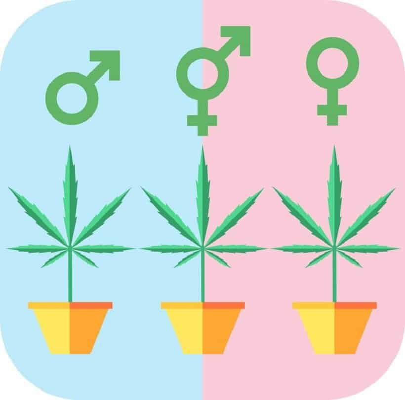 How Marijuana Clones Should Be Introduced