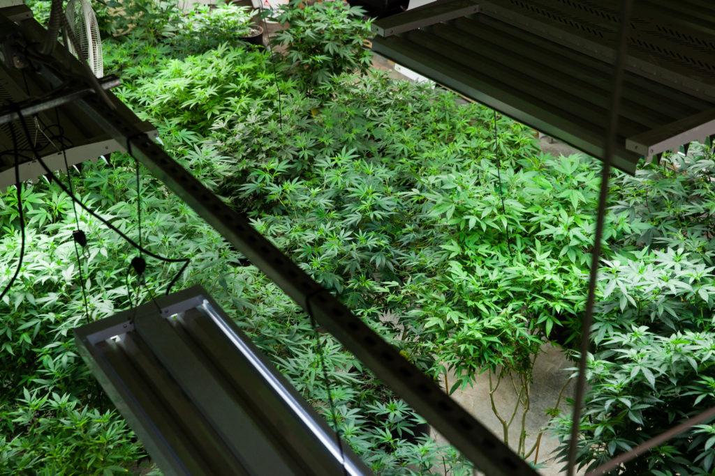 cannabis plants under lights, legal cannabis grower