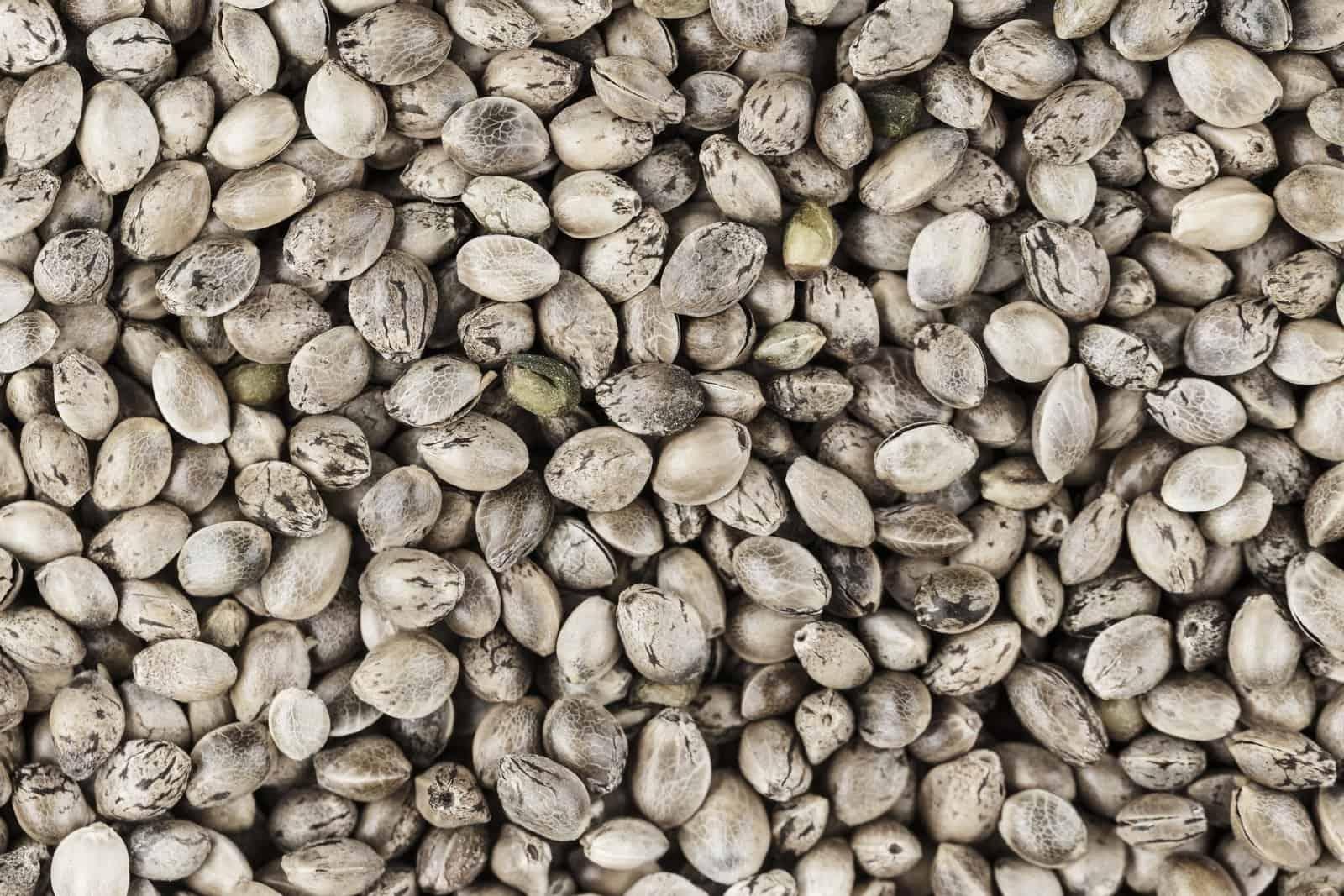 Feminized Cannabis Seed