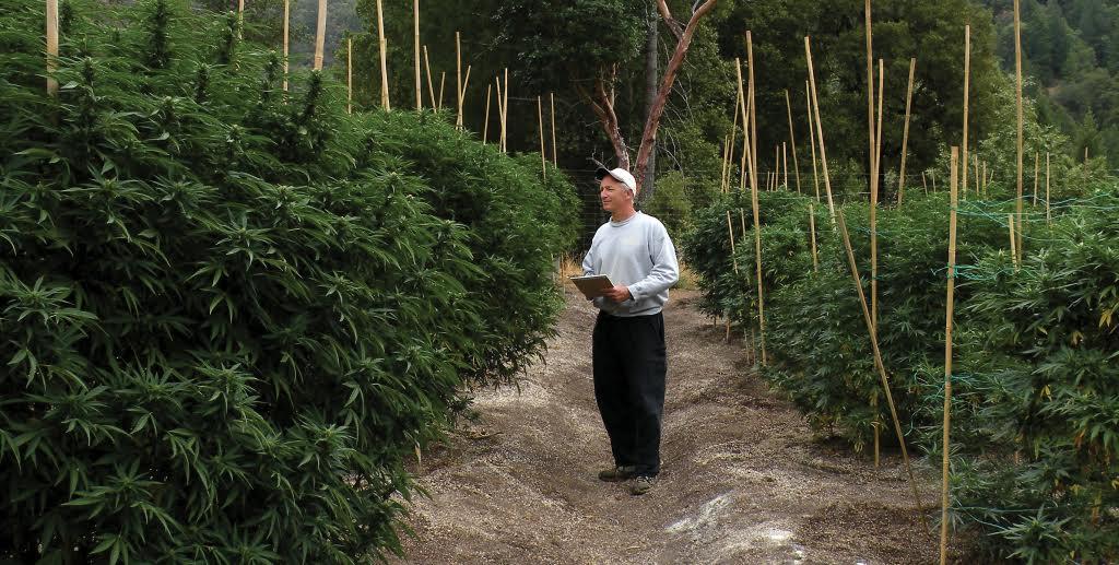 Tips For Growing Certified Organic Marijuana. Man checking marijuana plants.