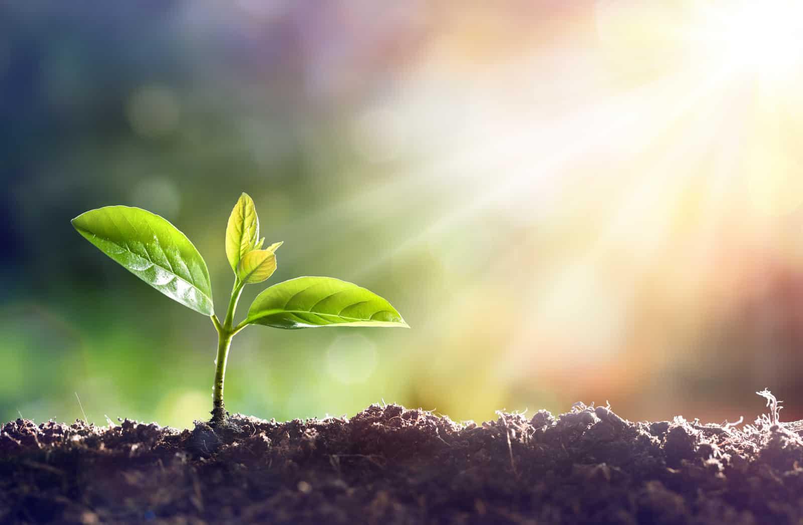 Does marijuana grow better in sunlight or artificial light? Marijuana plant growing