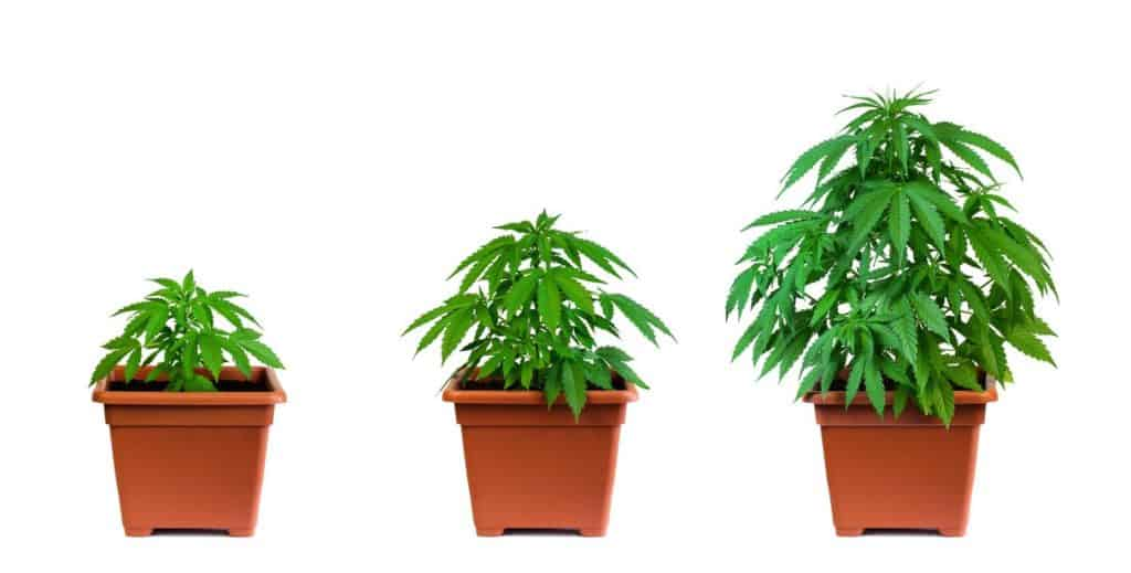 Ideal Cannabis Pot Size