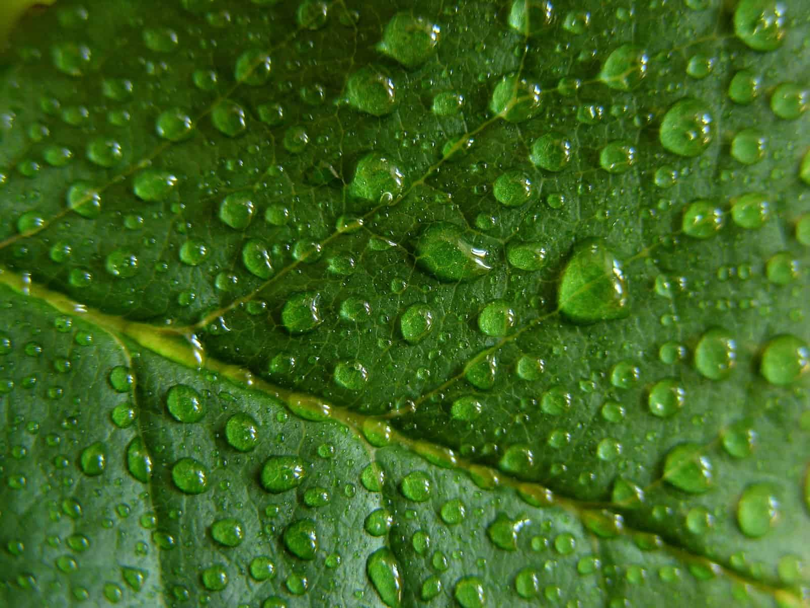 Controlling Humidity in Your Indoor Marijuana Grow. Water droplets on a leaf.