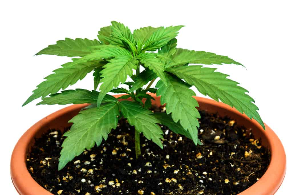 The Benefits of Air Pruning Cannabis Plants