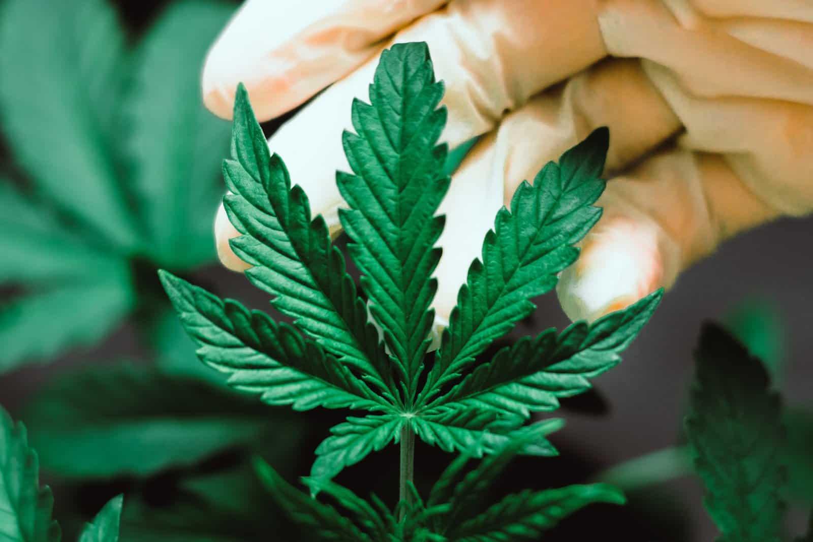 Certified marijuana pros earn money. Pot leaf