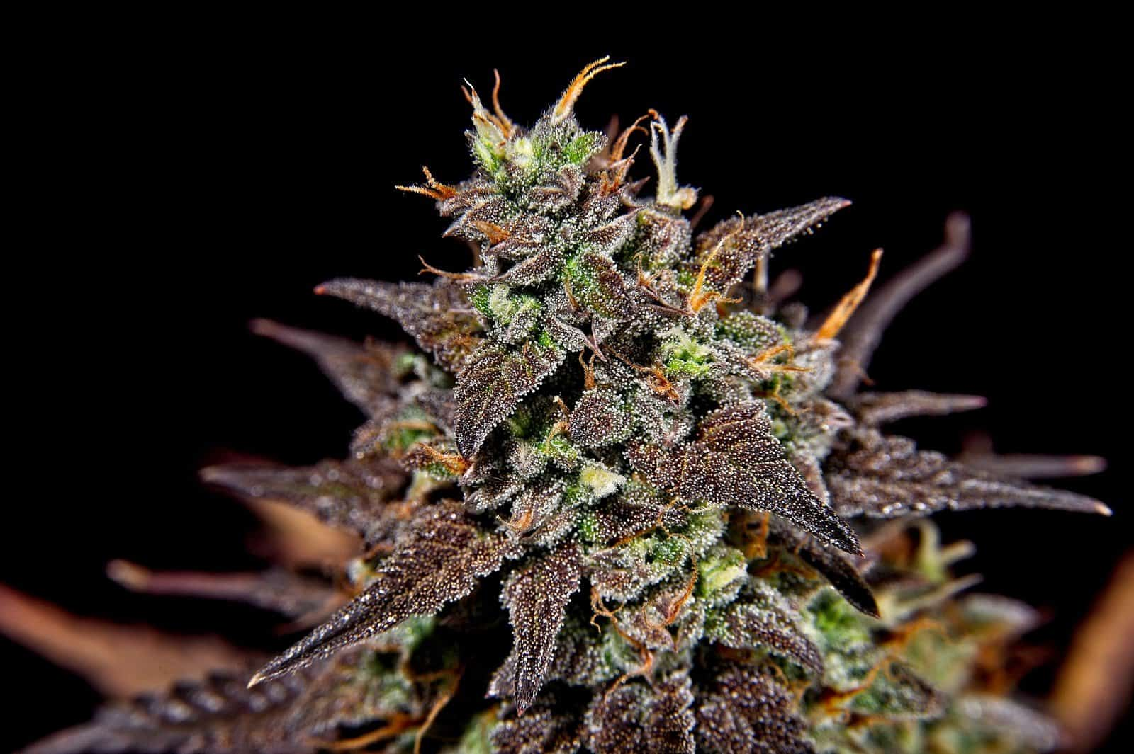 Cannabis hybrid strains effects. Marijuana Plant
