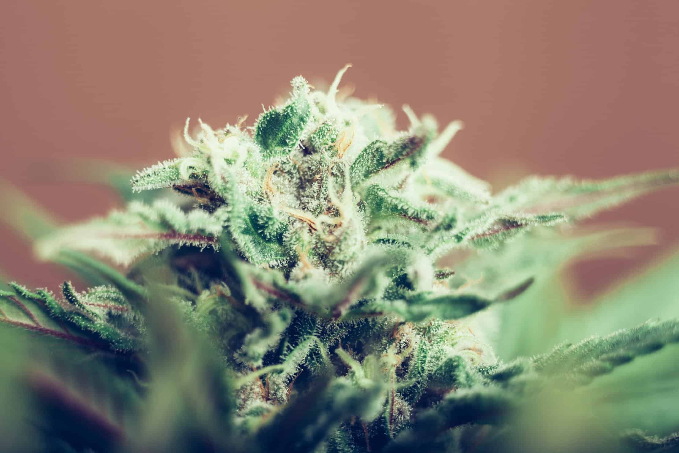 The importance of growing hybrid marijuana strains. Closeup of marijuana plant.