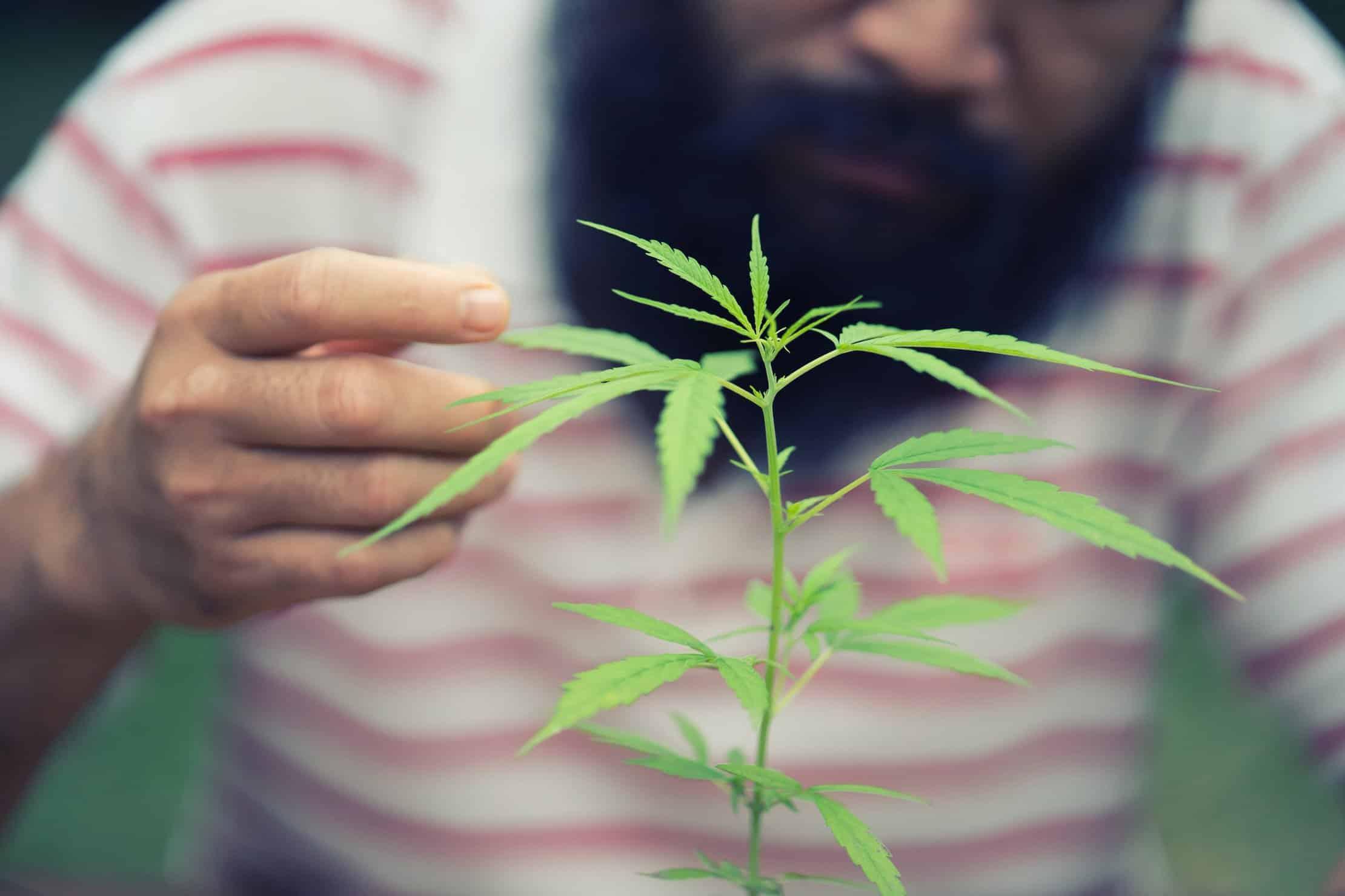 Challenges for marijuana growers. Marijuana plant