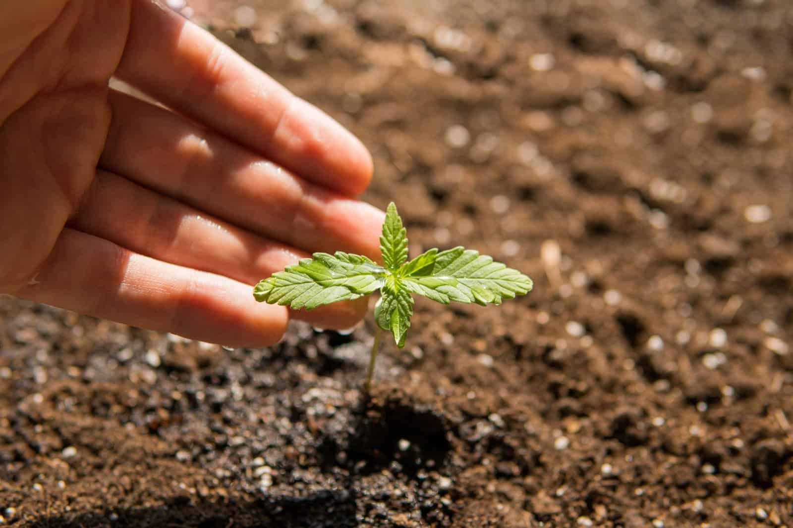 Growing cannabis with compost. Marijuana leaf in dirt.