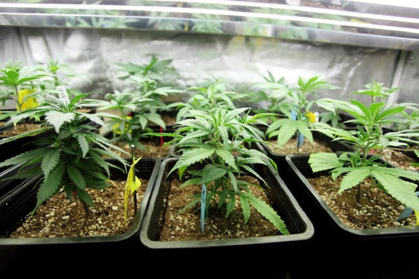 Mistakes To Avoid When Planning Your Cannabis Grow