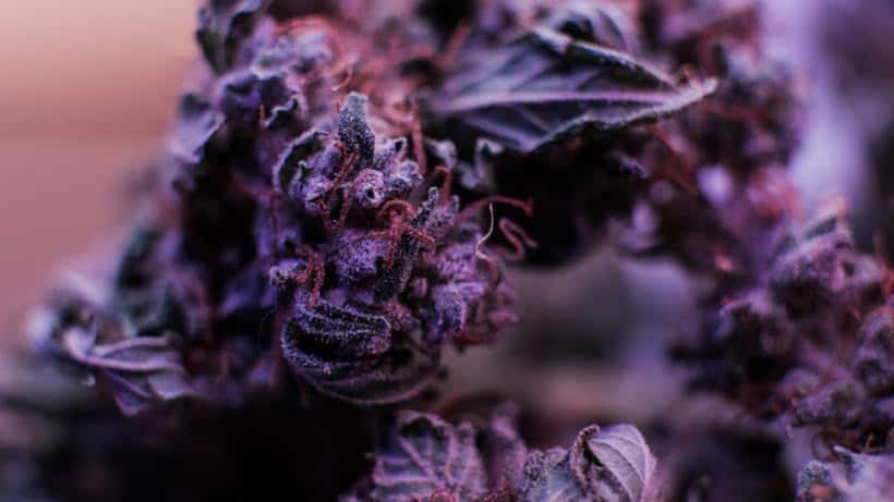 The Best Marijuana Strains To Use At Night