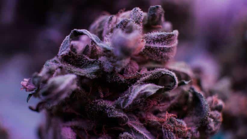 The haze marijuana strain and its source. Closeup of purple weed.