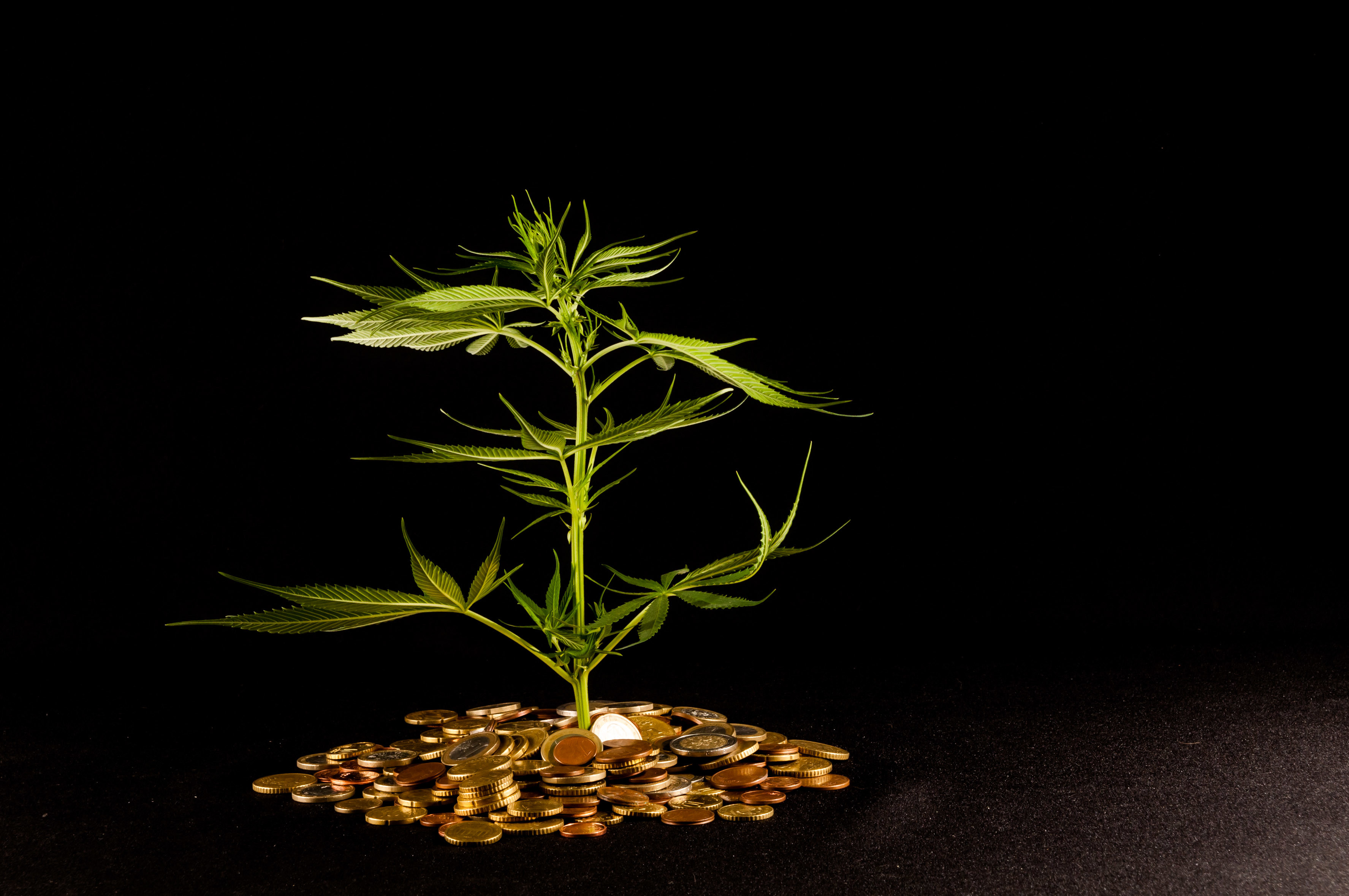 Tip For Financing Your Marijuana Business. Marijuana plant surrounded by coins.