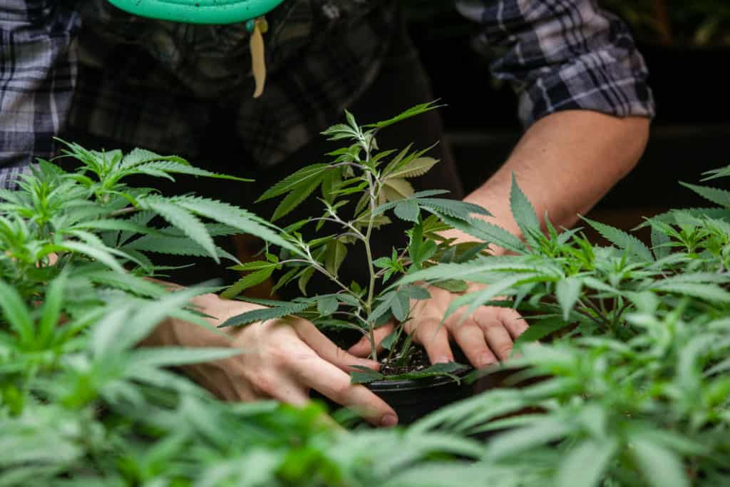 How To Win A Cannabis Cultivation License