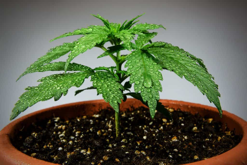 Overwatered Marijuana Plants: How to Spot and Avoid Overwatering Cannabis Plants