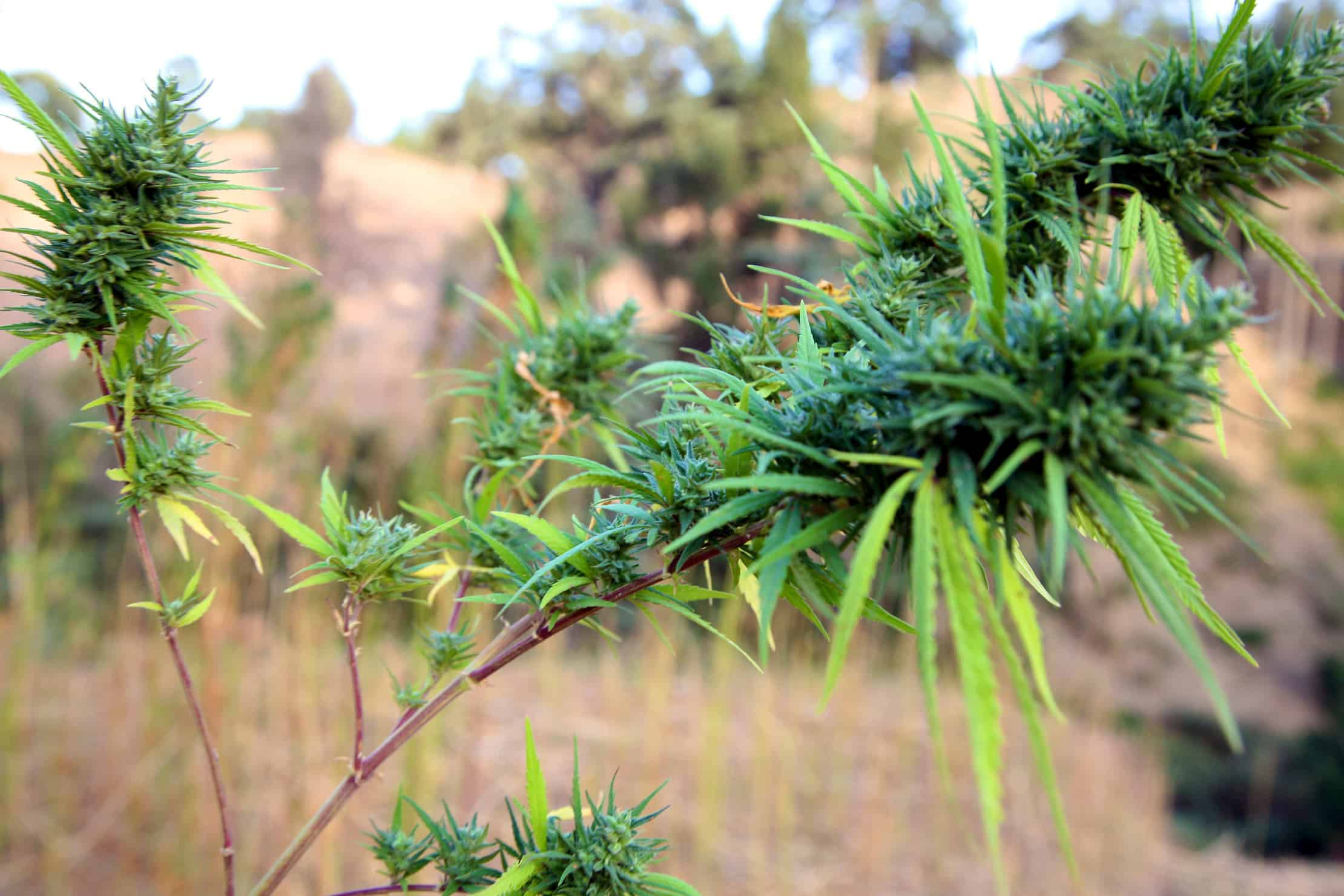 Tips for Growing Cold-Weather Cannabis