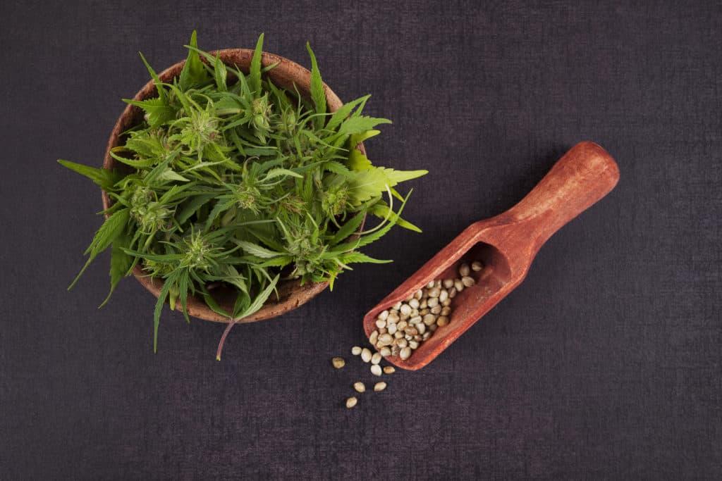 Cannabis Breeding 101: Growing Cannabis for Seeds thumbnail