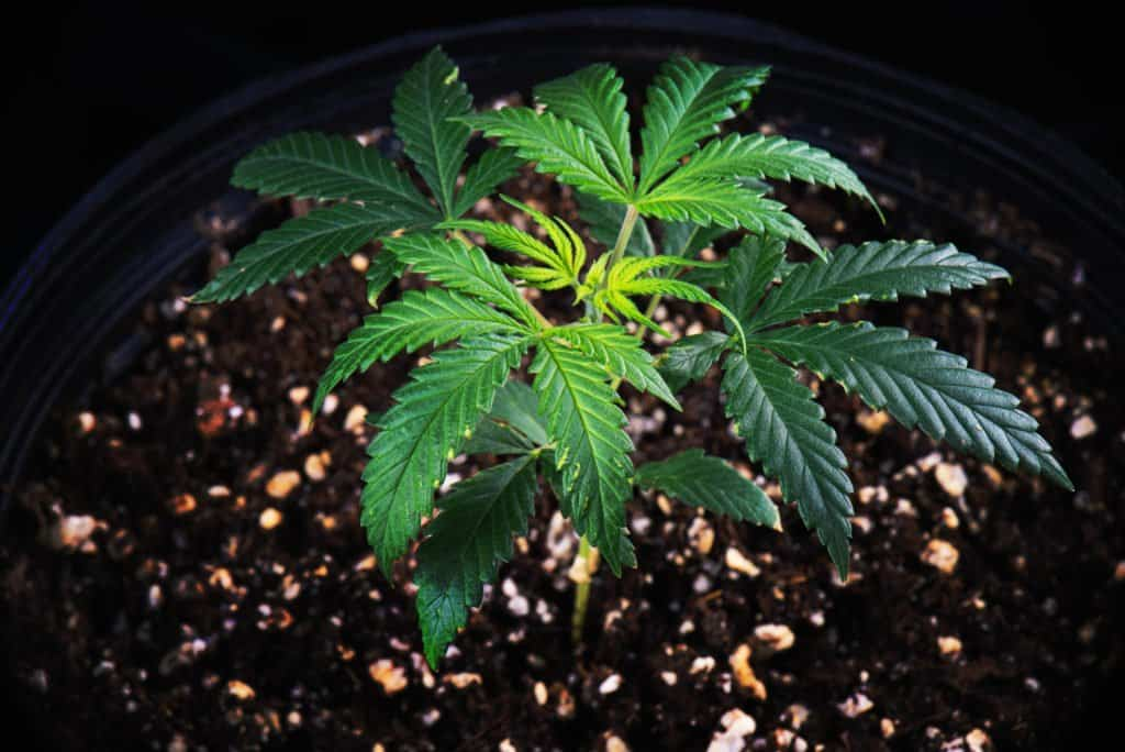 Learn More About Growing Cannabis in Perlite and Coco Coir