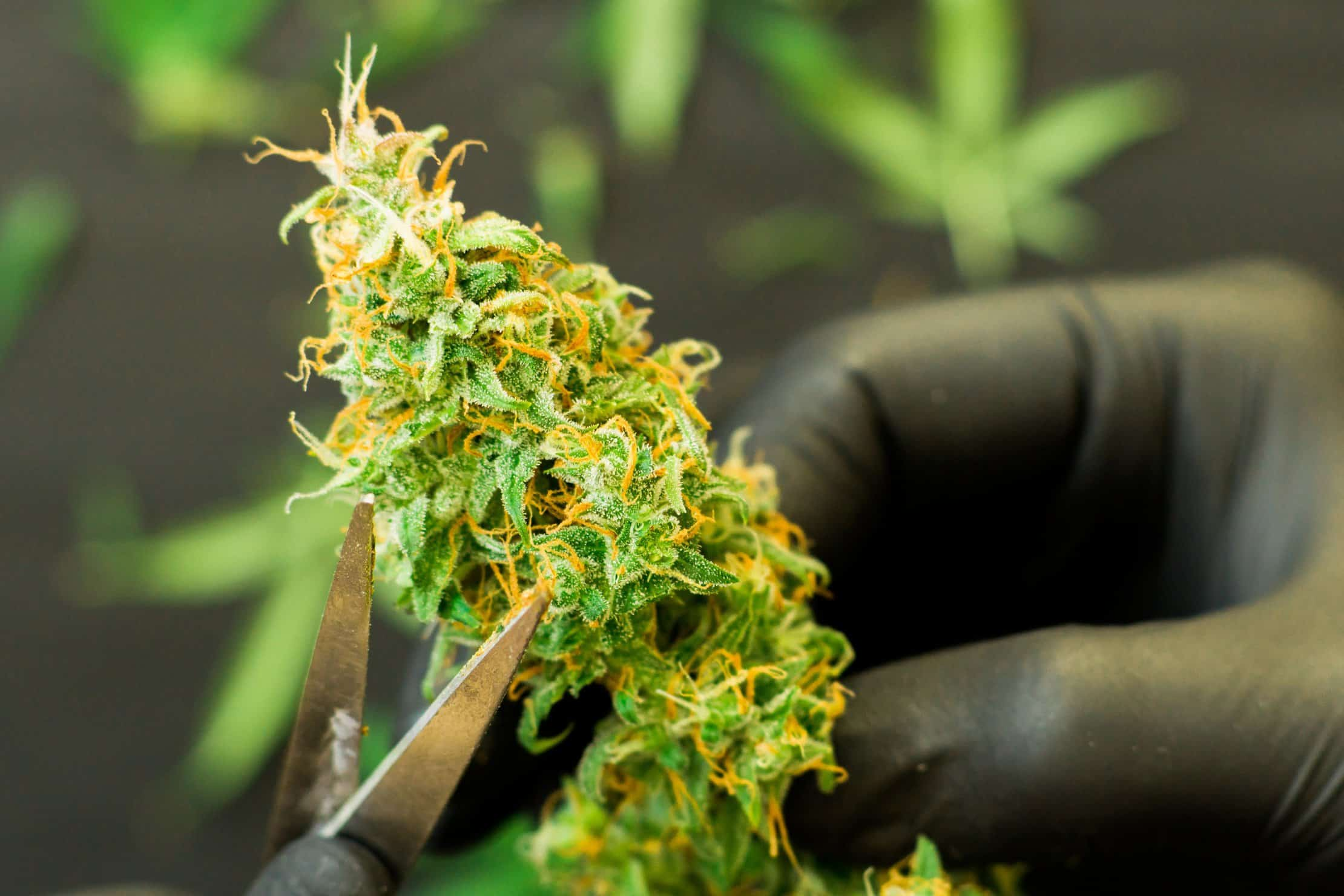 Tips for Finding Good Cannabis Industry Jobs