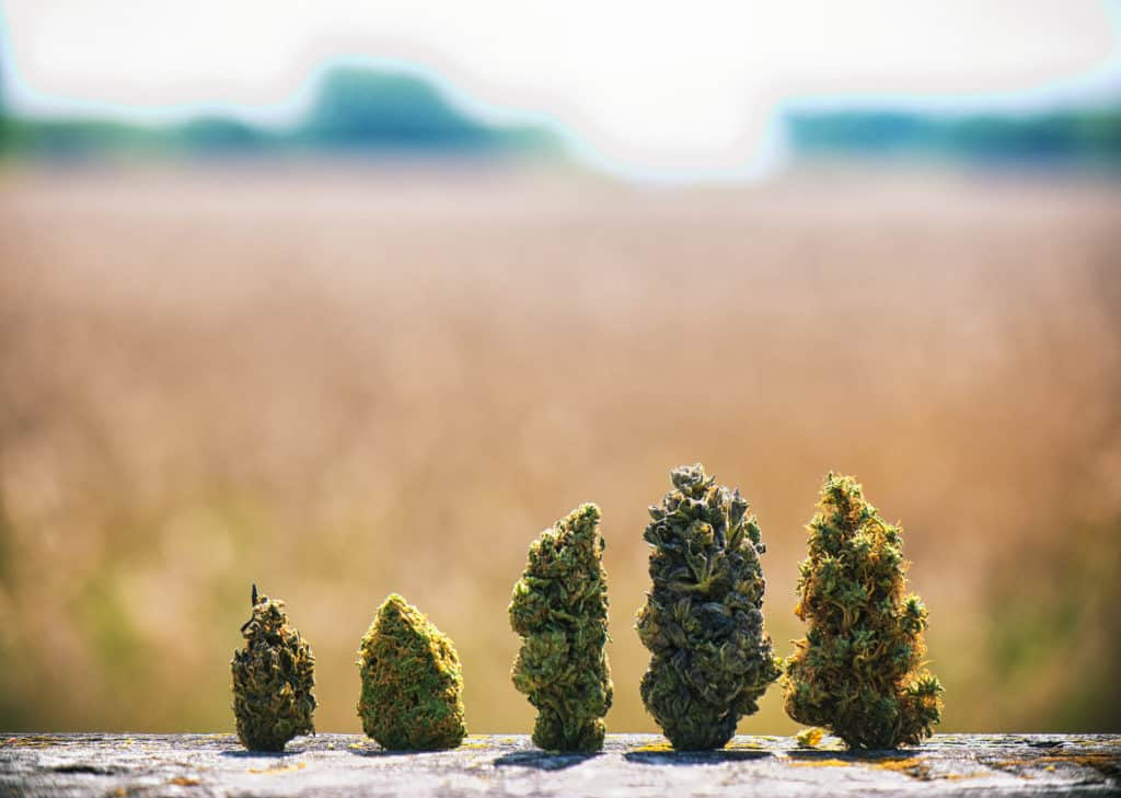 Haze vs. Kush Cannabis Strains: How To Tell the Difference