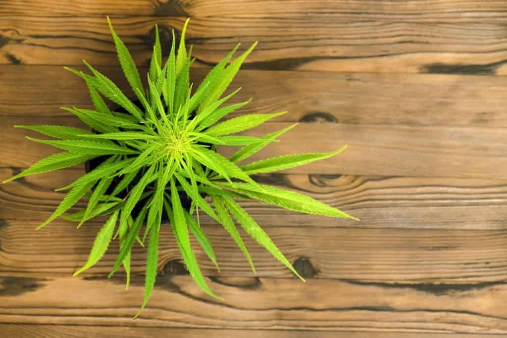 How to Grow Shorter Cannabis Plants